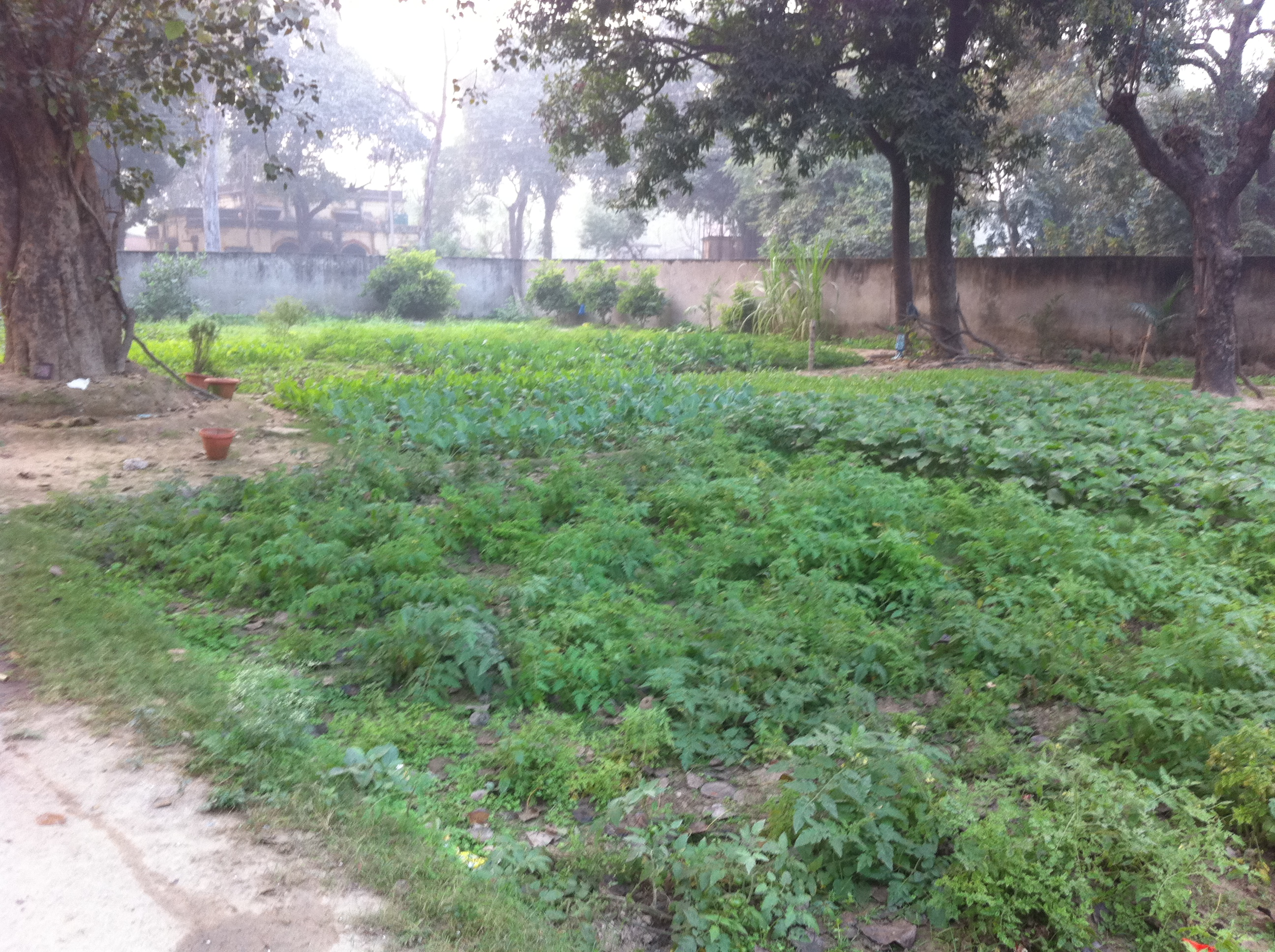 Photo of the extensive vegetable garden at our Lucknow Home